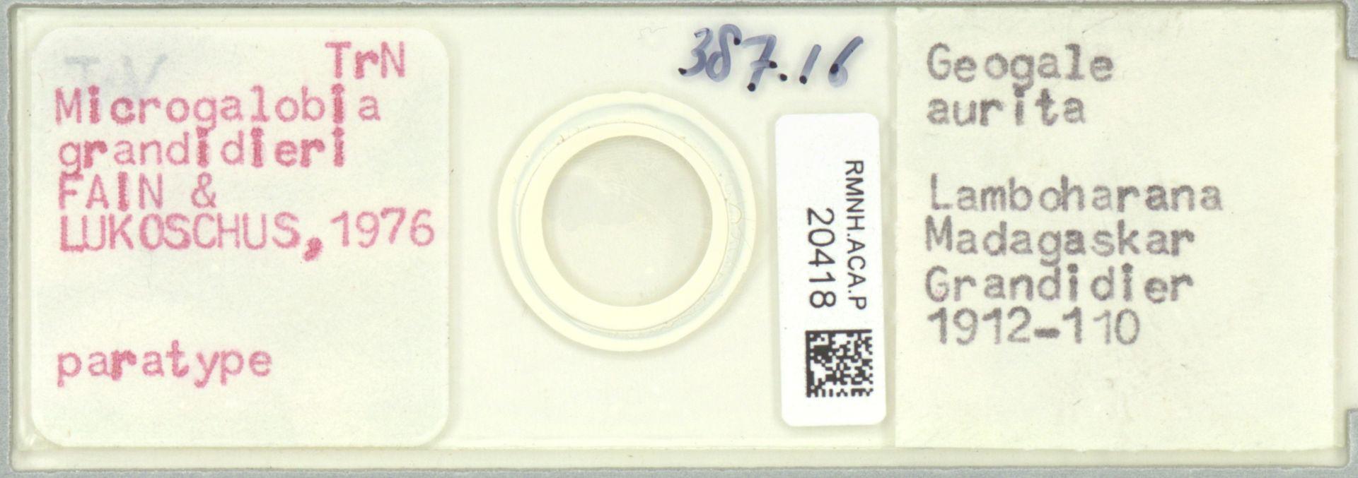 RMNH.ACA.P.20418 | Microgalobia grandidieri