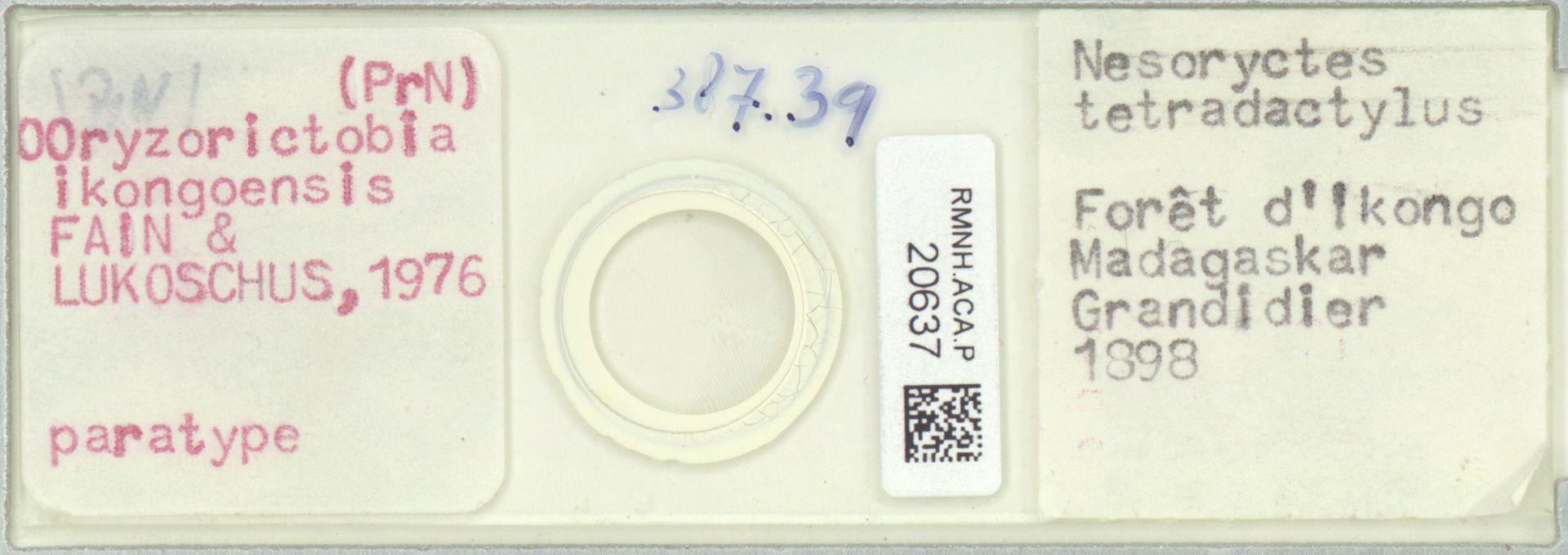 RMNH.ACA.P.20637 | Oryzorictobia ikongoensis