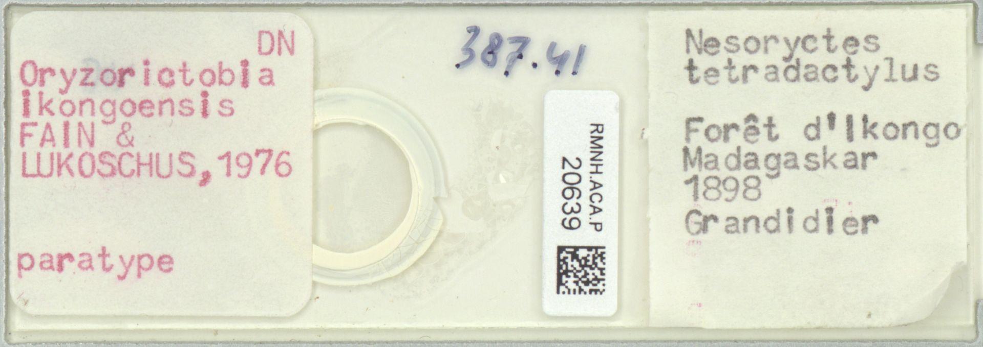 RMNH.ACA.P.20639   Oryzorictobia ikongoensis