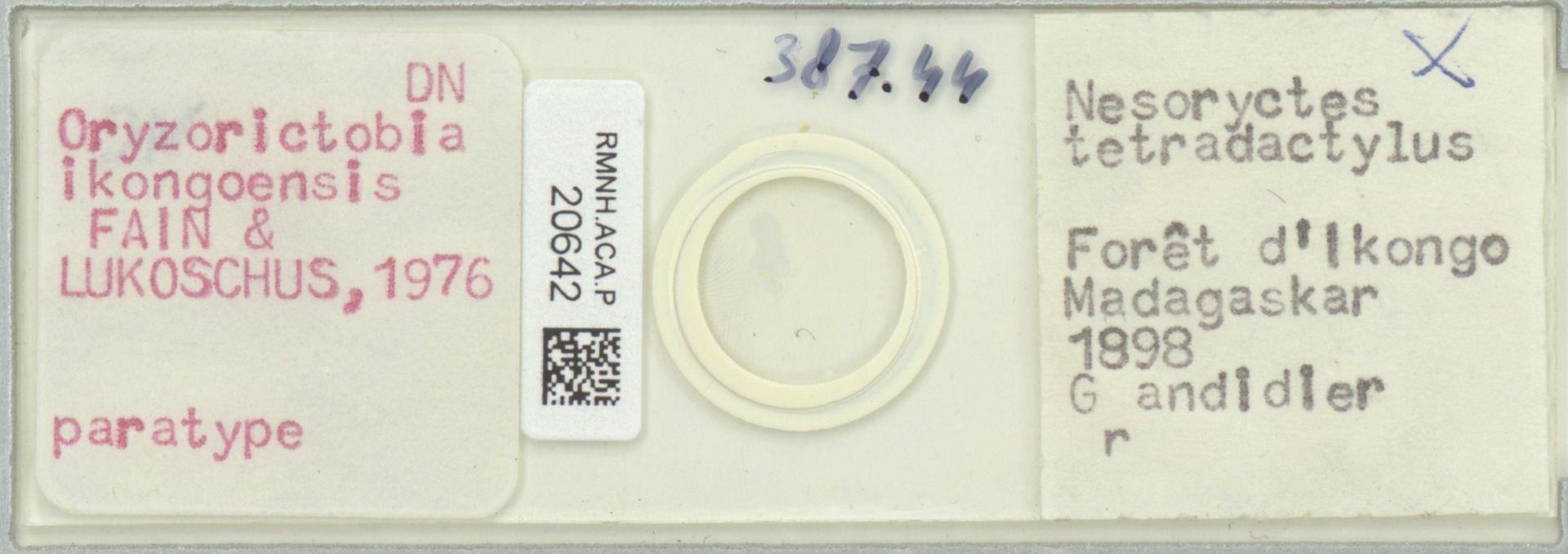 RMNH.ACA.P.20642 | Oryzorictobia ikongoensis