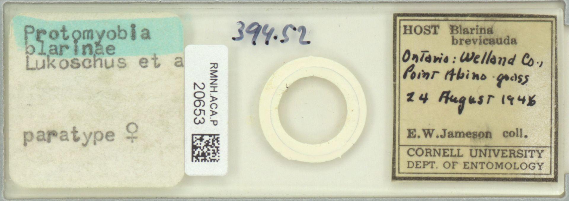 RMNH.ACA.P.20653   Protomyoba blarinae
