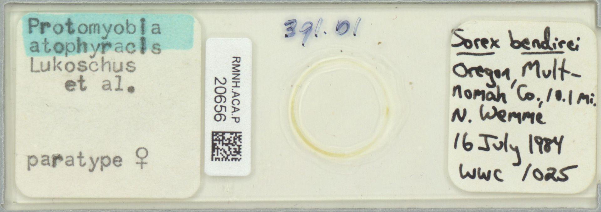 RMNH.ACA.P.20656 | Protomyoba atophyracis