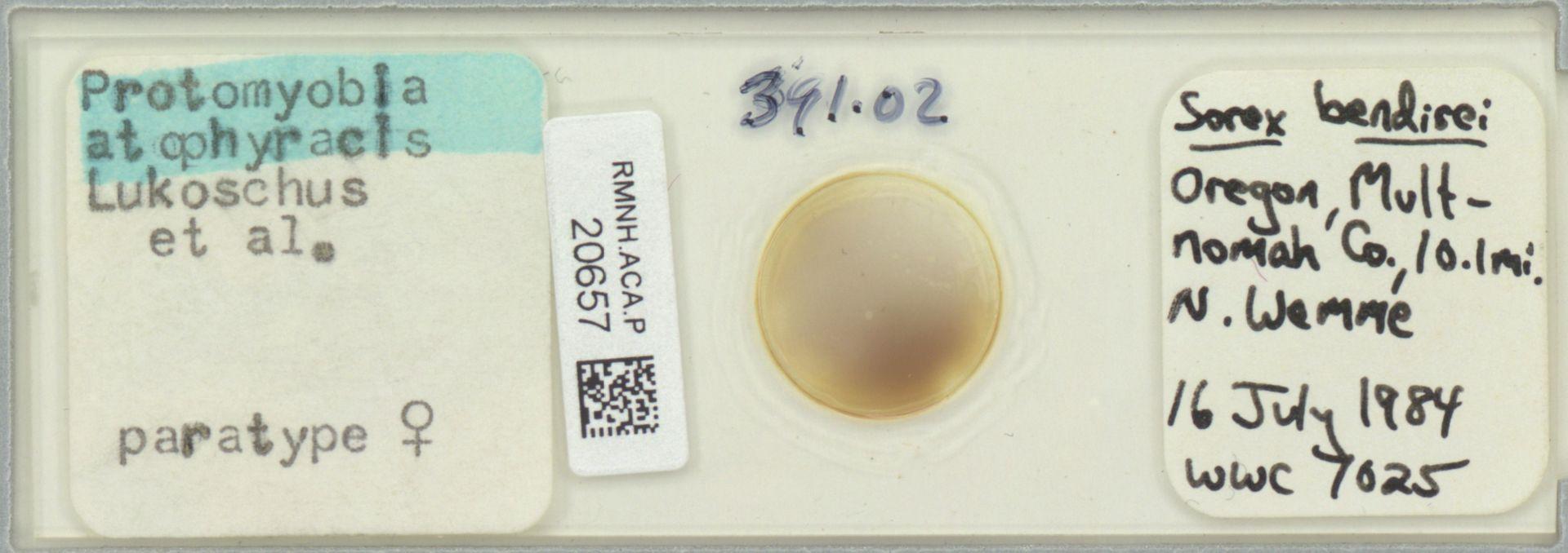 RMNH.ACA.P.20657 | Protomyoba atophyracis