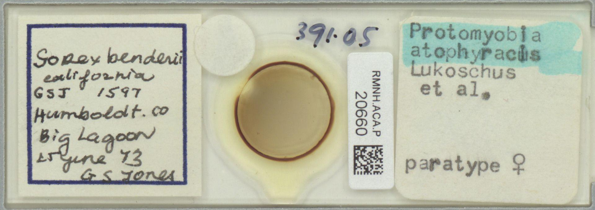 RMNH.ACA.P.20660   Protomyoba atophyracis