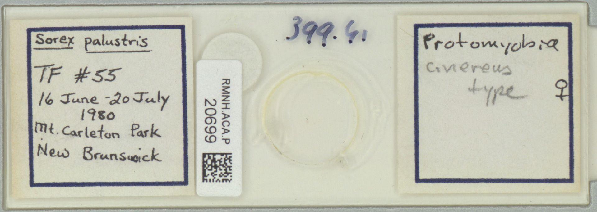RMNH.ACA.P.20699 | Protomyobia cinereus