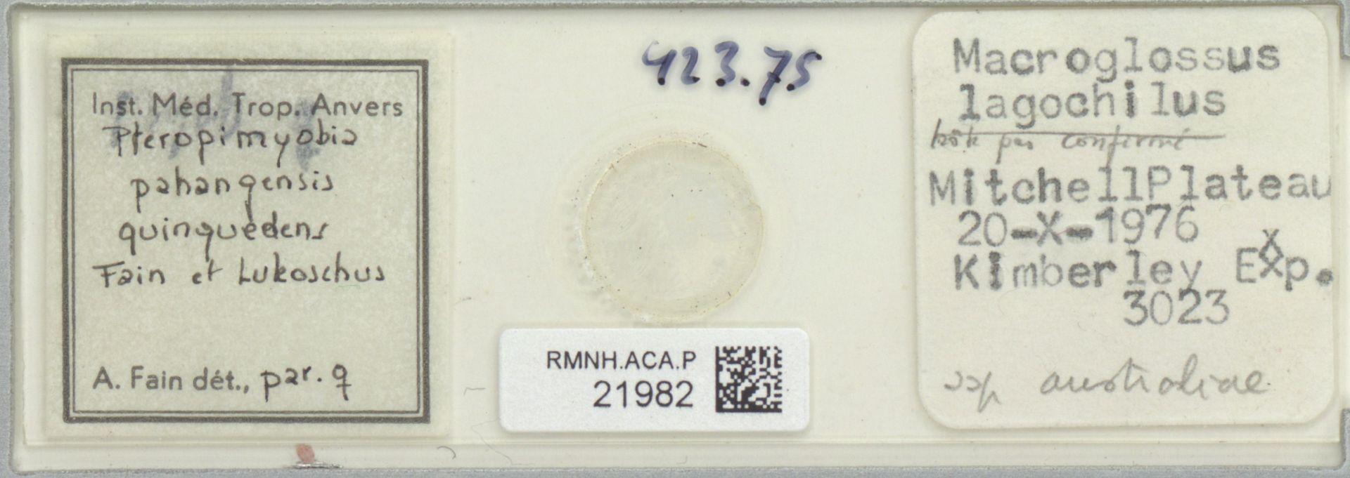 RMNH.ACA.P.21982 | Pteropimyobia pahangensis quinquedens Fain et Lukoschus