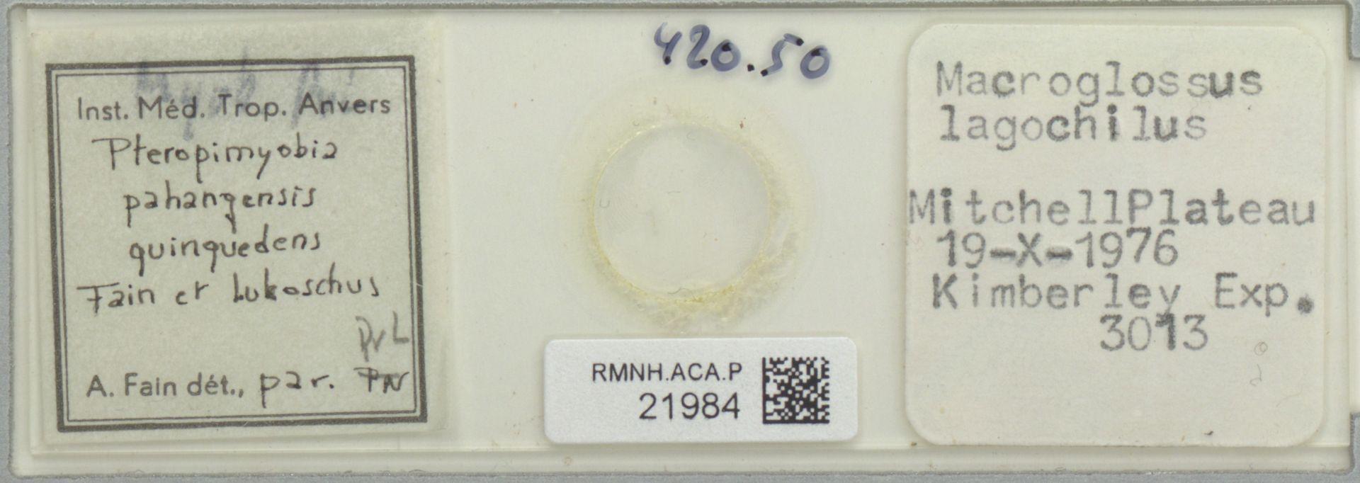 RMNH.ACA.P.21984 | Pteropimyobia pahangensis quinquedens Fain et Lukoschus
