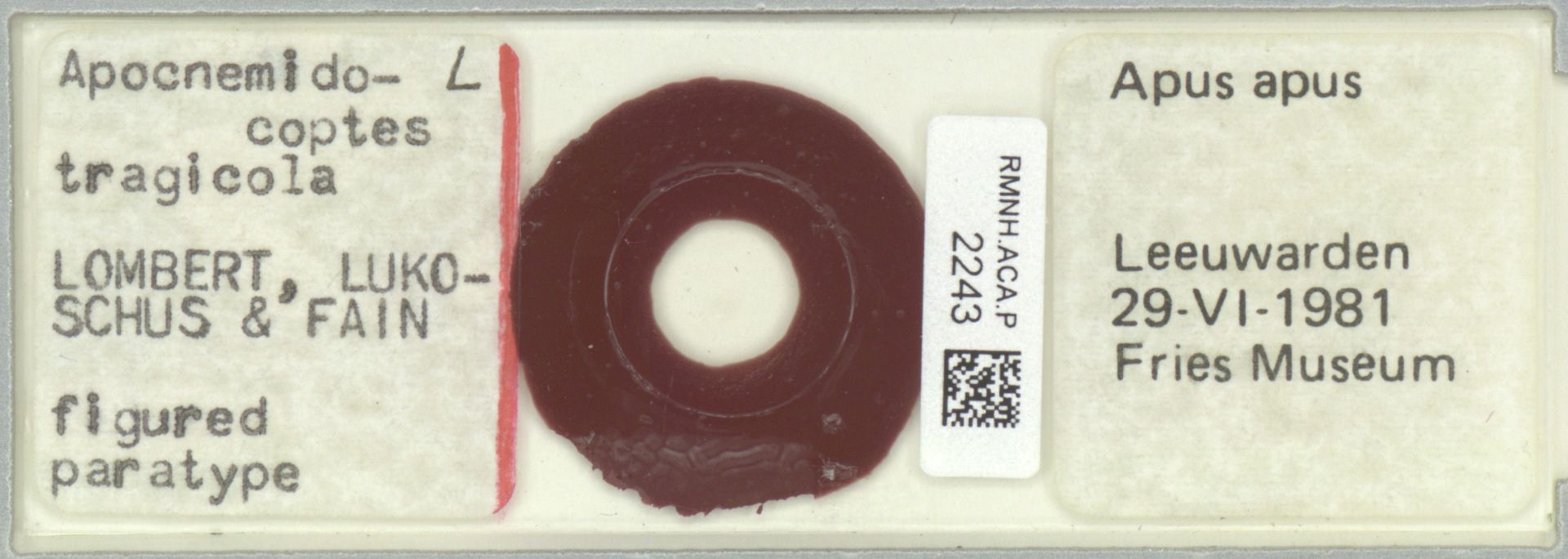 RMNH.ACA.P.2243 | Apocnemidocoptes tragicola Lombert, Lukoschus & Fain
