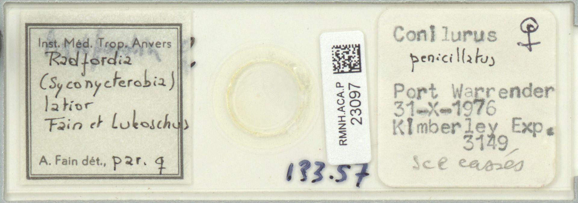 RMNH.ACA.P.23097 | Radfordia (Syconycterobia) latior Fain et Lukoschus
