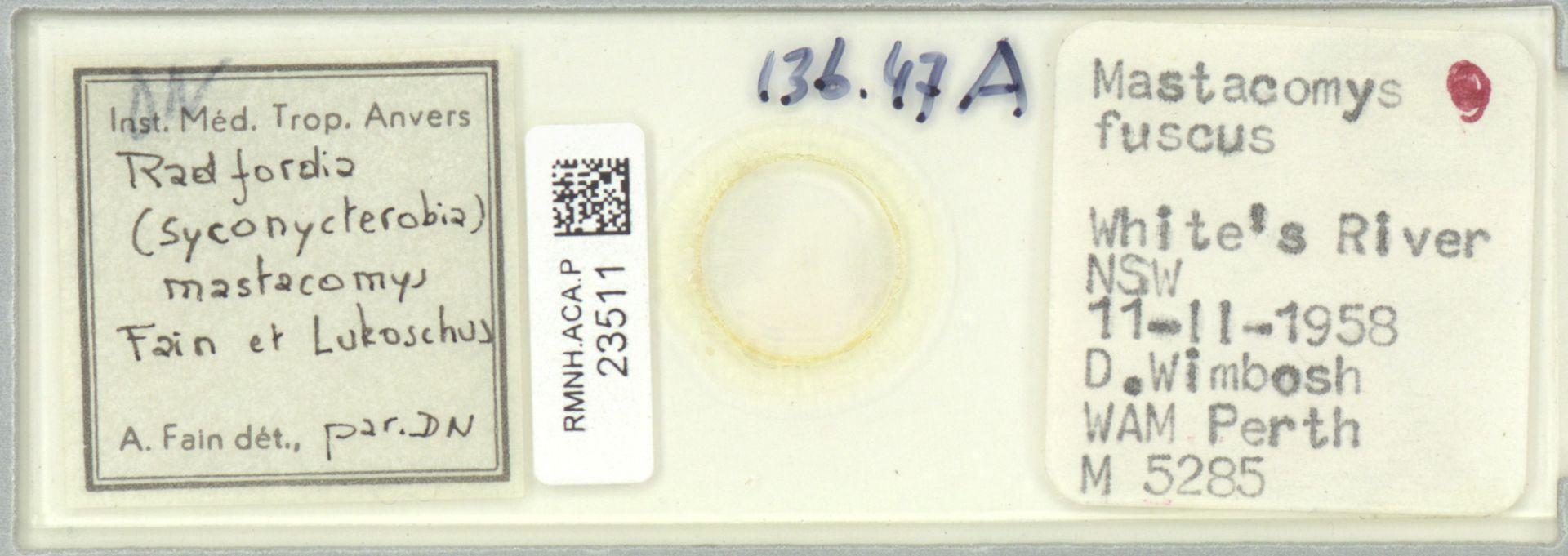 RMNH.ACA.P.23511   Radfordia (Syconycterobia) mastacomys Fain et Lukoschus