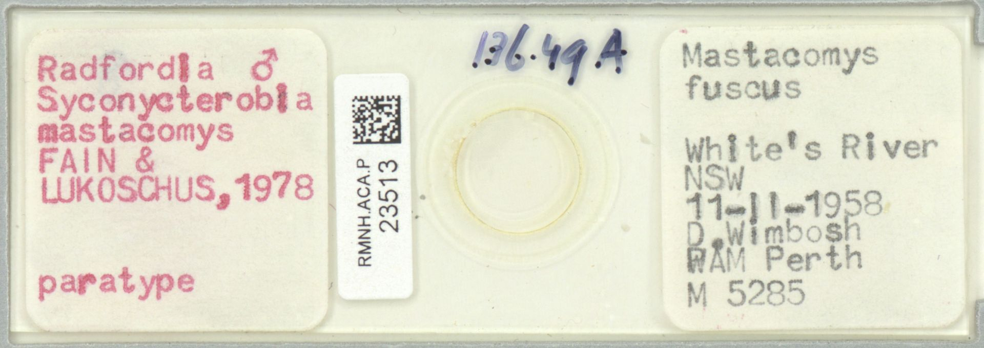 RMNH.ACA.P.23513   Radfordia (Syconycterobia) mastacomys FAIN & LUKOSCHUS, 1978