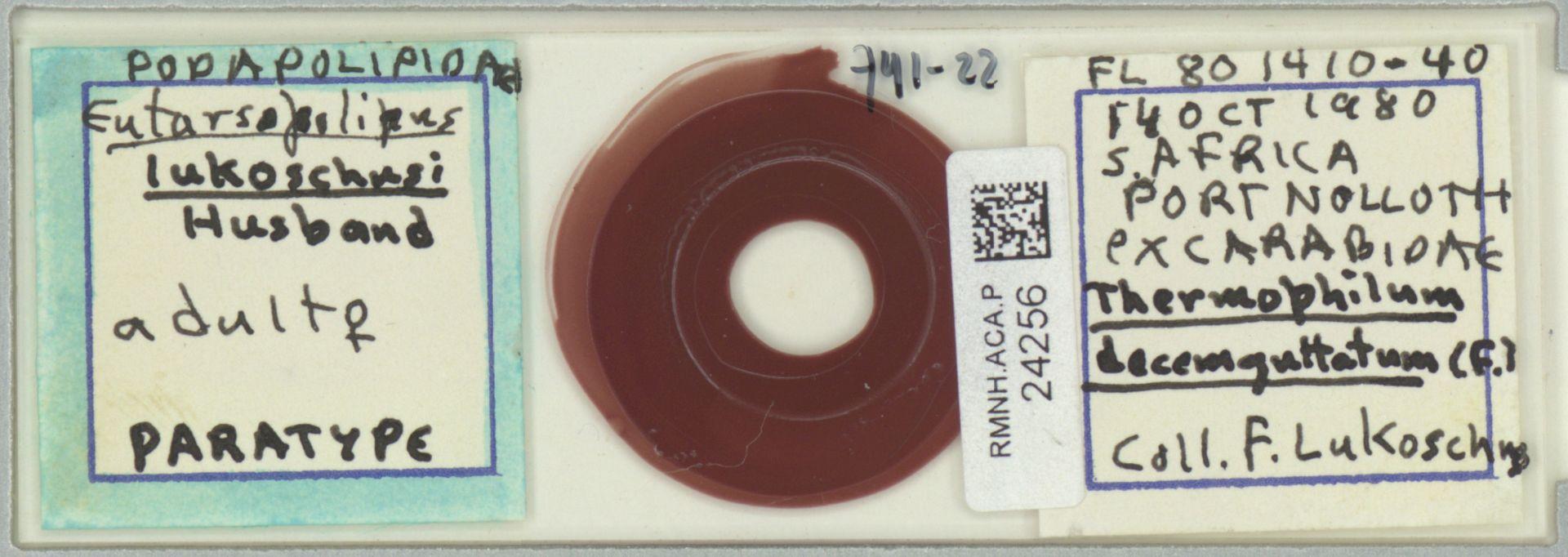 RMNH.ACA.P.24256 | Eutarsopolipus lukoschusi Husband