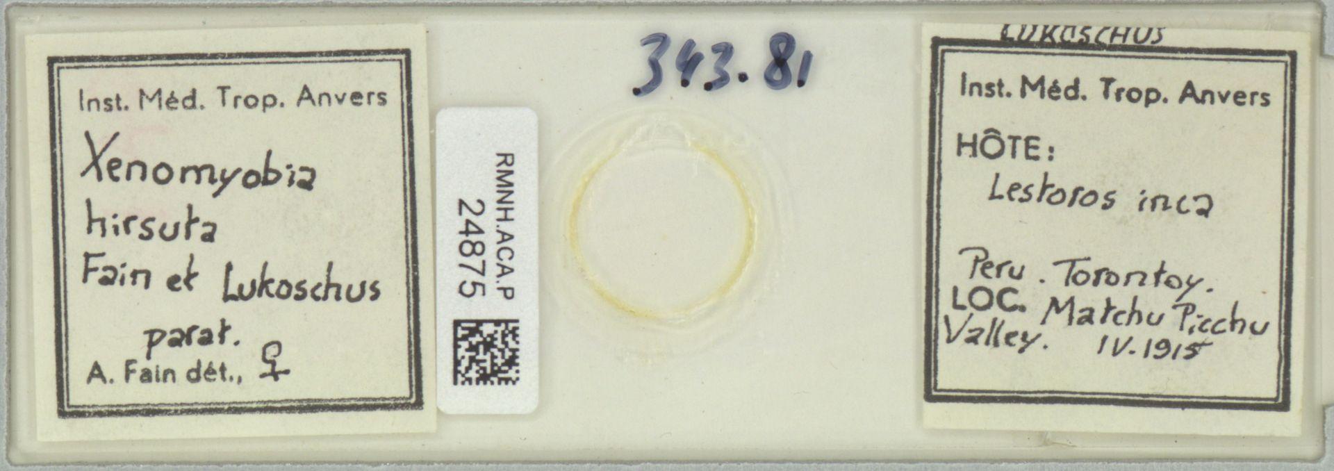 RMNH.ACA.P.24875 | Xenomyobia hirsuta Fain et Lukoschus