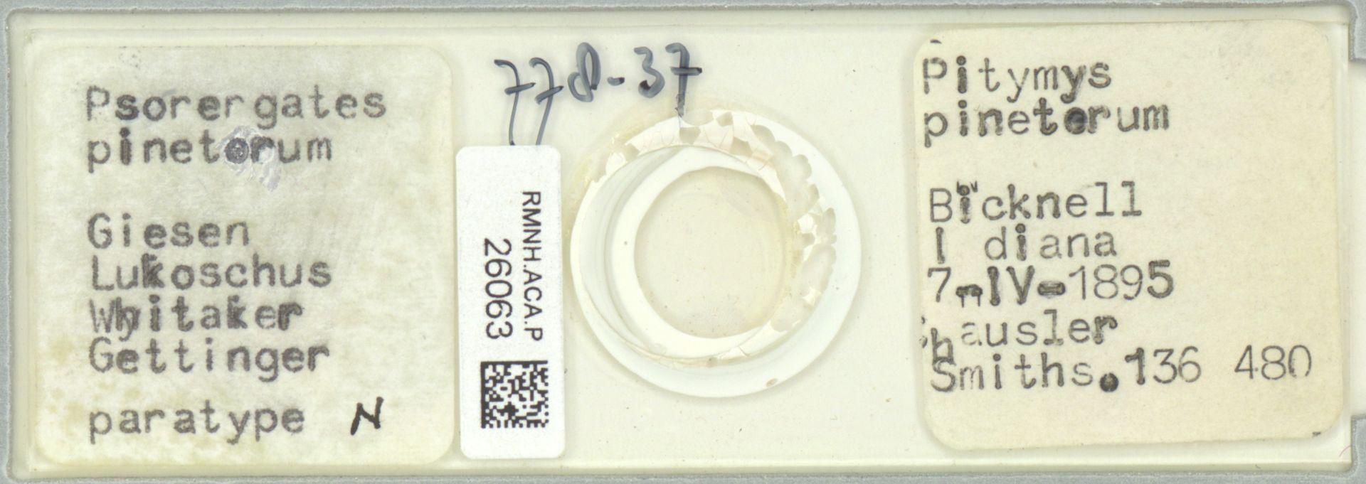 RMNH.ACA.P.26063 | Psorergates pinetorum Giesen Lukoschus Whitaker Gettinger