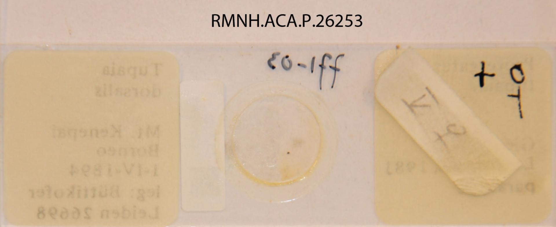 RMNH.ACA.P.26253 | Psorergates tupaiea Giesen, Lukoschus, 1981