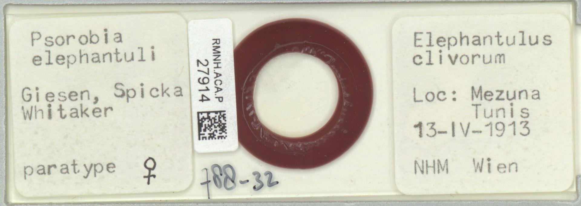RMNH.ACA.P.27914   Psorobia elephantuli Giesen, Spicka & Whitaker