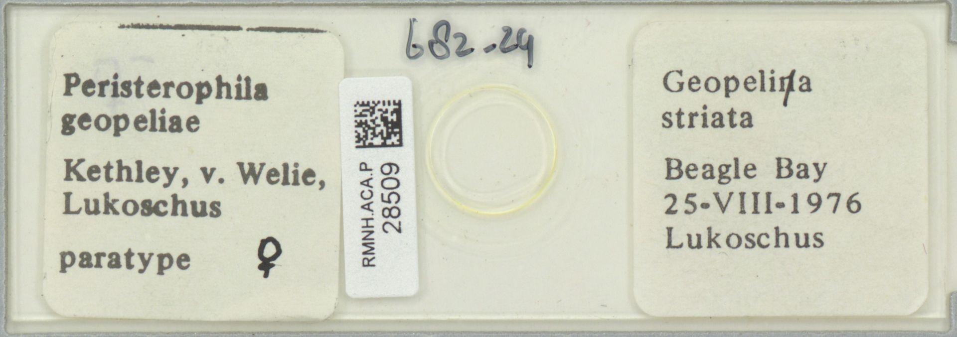 RMNH.ACA.P.28509 | Peristerophila geopeliae Kethley, v. Welie, Lukoschus
