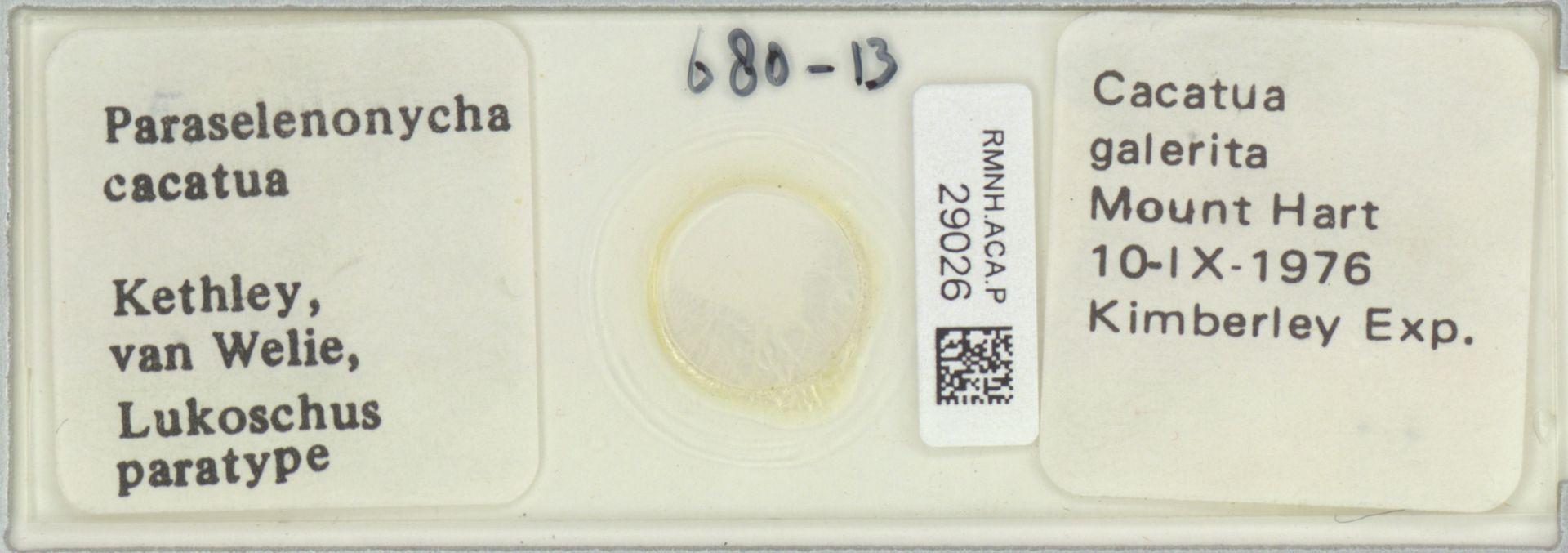 RMNH.ACA.P.29026 | Paraselenonycha cacatua Kethley, van Welie, Lukoschus