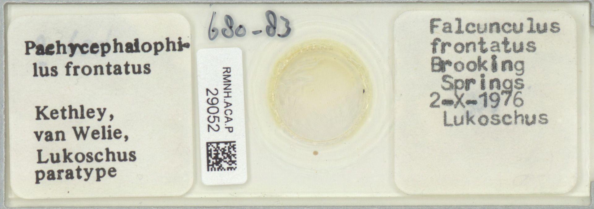 RMNH.ACA.P.29052 | Pachycephalophilus frontatus Kethley, van Welie, Lukoschus