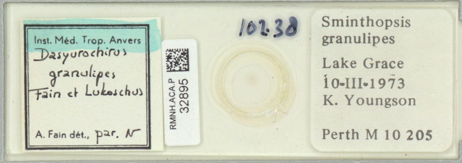 RMNH.ACA.P.32895   Dasyurochirus granulipes Fain & Lukoschus