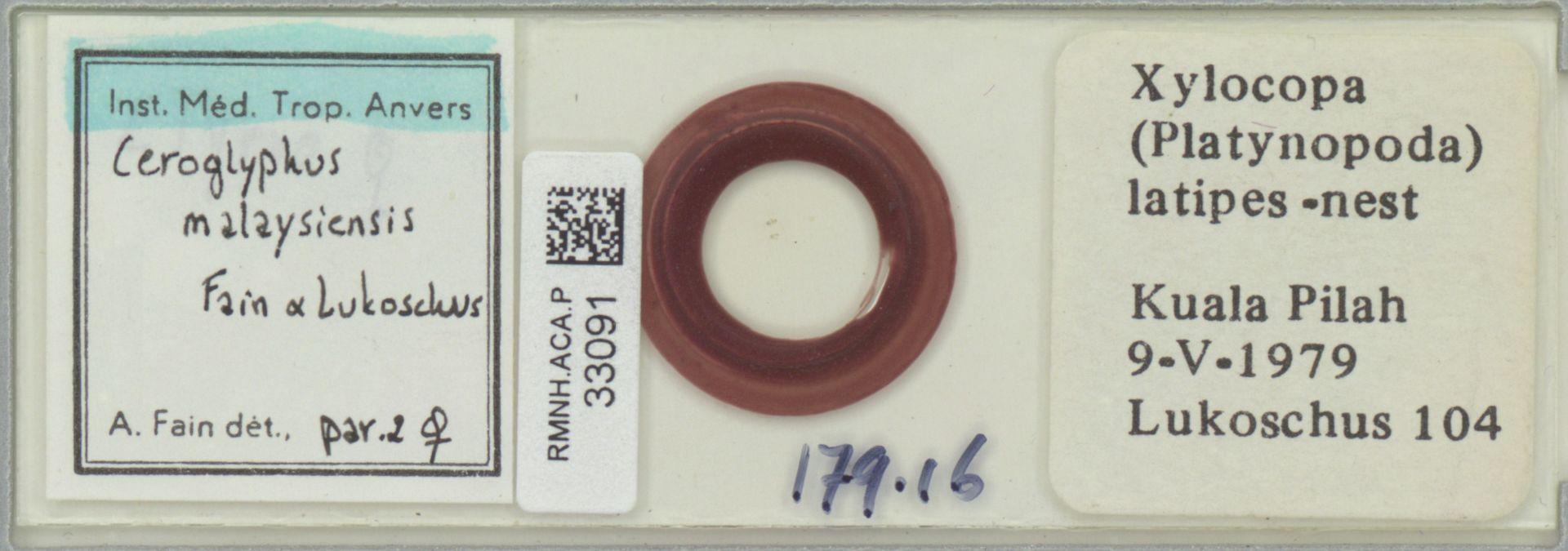 RMNH.ACA.P.33091   Ceroglyphus malaysiensis Fain & Lukoschus