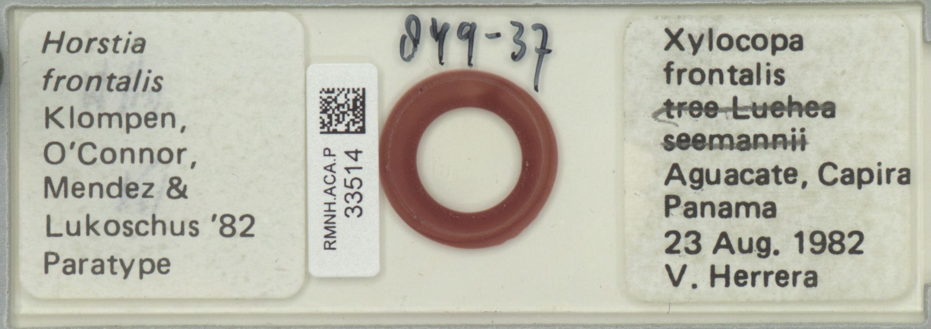 RMNH.ACA.P.33514 | Horstia frontalis Klompen, O'Connor, Mendez & Lukoschus '82