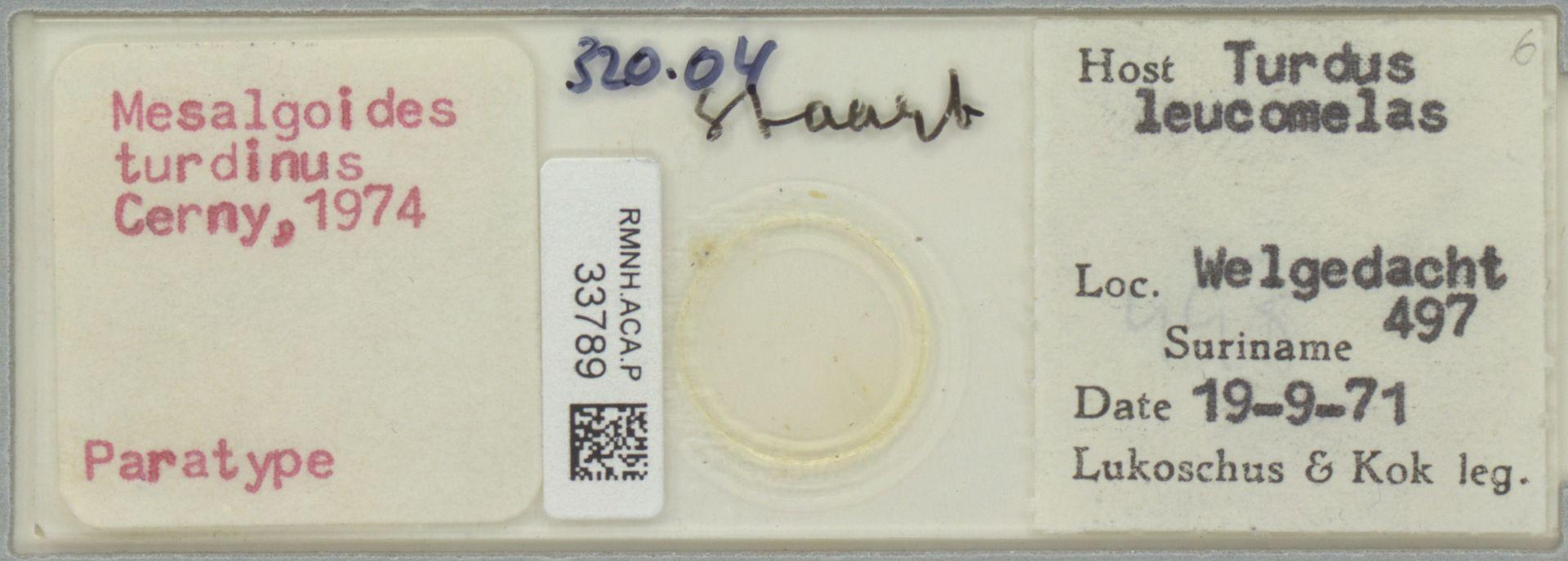RMNH.ACA.P.33789 | Mesalgoides turdinus Cerny, 1974