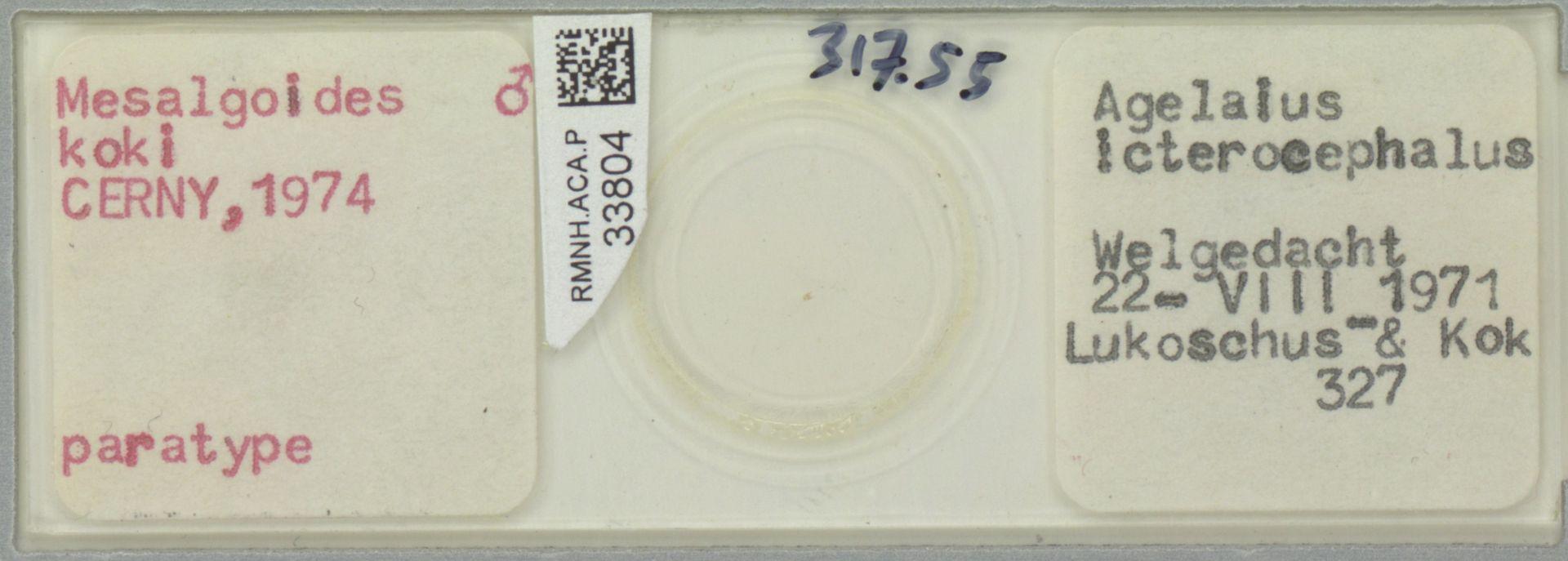RMNH.ACA.P.33804   Mesalgoides koki Cerny, 1974