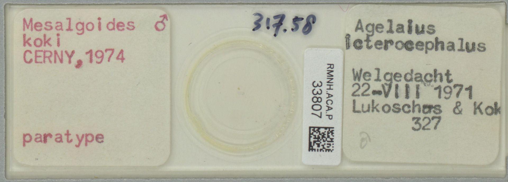 RMNH.ACA.P.33807   Mesalgoides koki Cerny, 1974