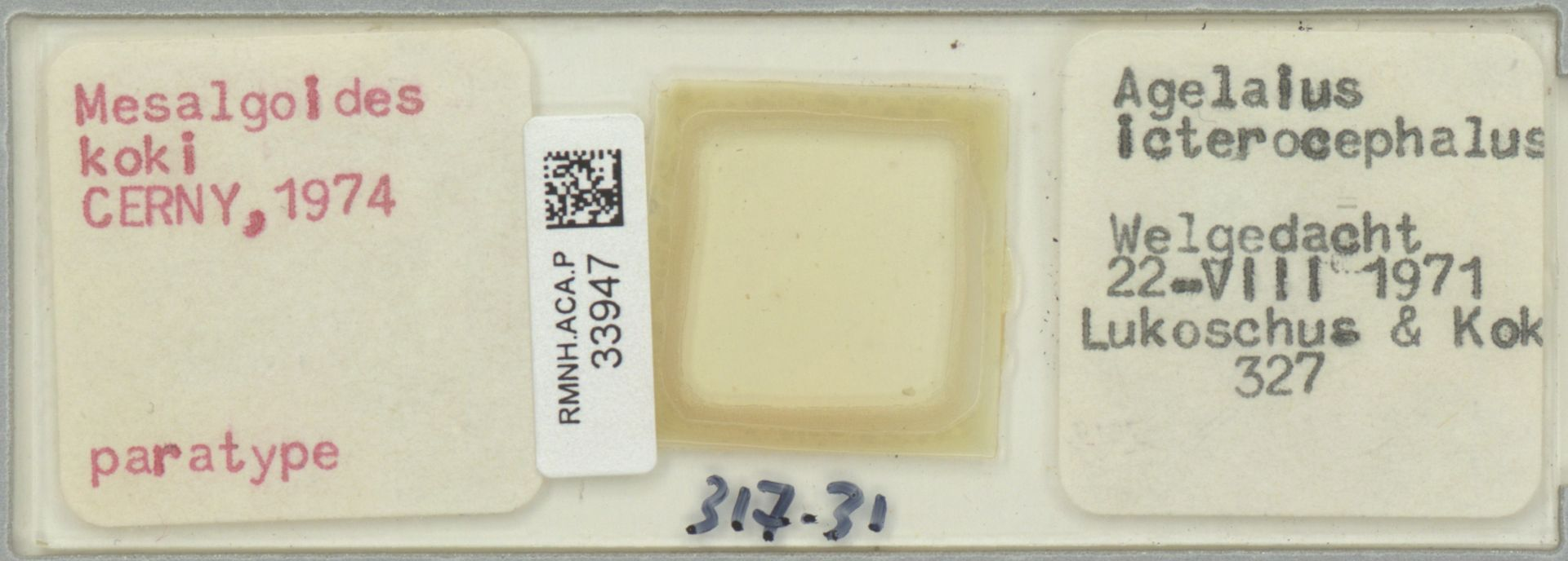 RMNH.ACA.P.33947 | Mesalgoides koki CERNY, 1974