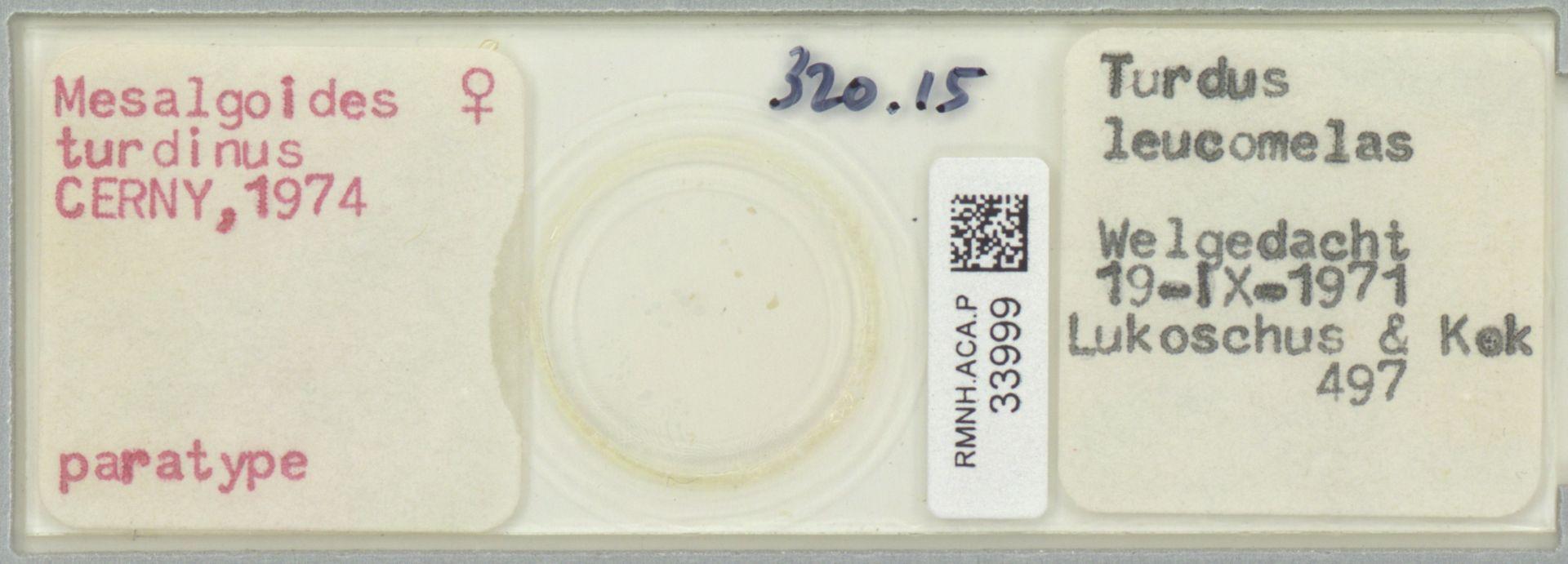 RMNH.ACA.P.33999 | Mesalgoides turdinus Cerny, 1974