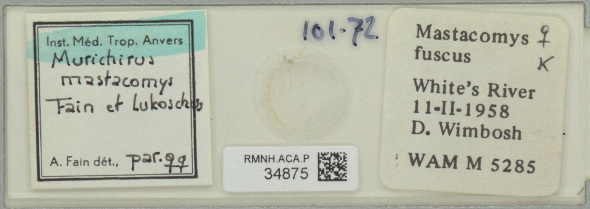 RMNH.ACA.P.34875 | Murichirus mastacomys Fain & Lukoschus