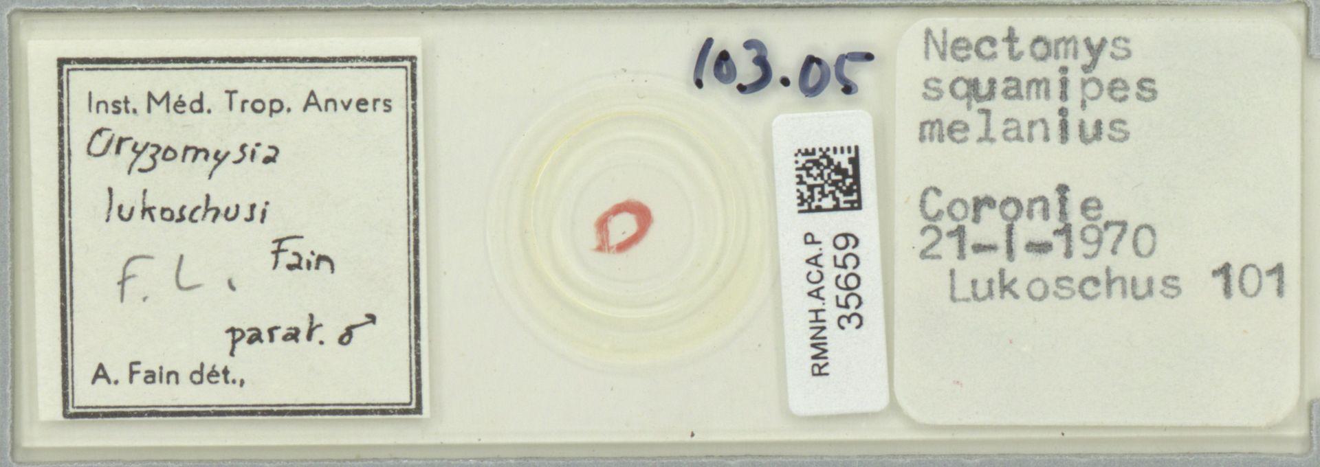 RMNH.ACA.P.35659   Oryzomysia lukoschusi Fain