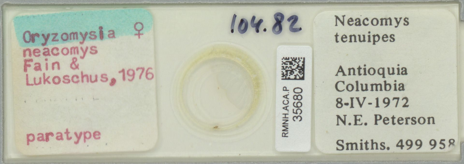 RMNH.ACA.P.35680 | Oryzomysia neacomys Fain & Lukoschus, 1976