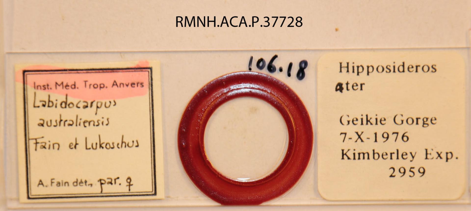 RMNH.ACA.P.37728   Labidocarpus australiensis Fain & Lukoschus