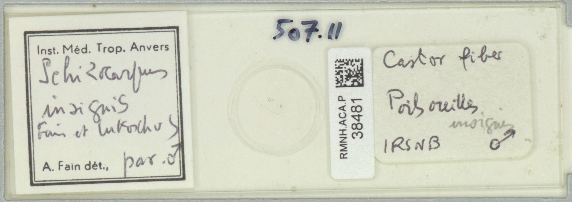 RMNH.ACA.P.38481 | Schizocarpus insignis Fain et Lukoschus