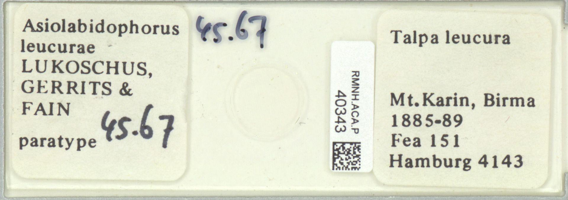RMNH.ACA.P.40343 | Asiolabidophorus leucurae Lukoschus, Gerrits & Fain