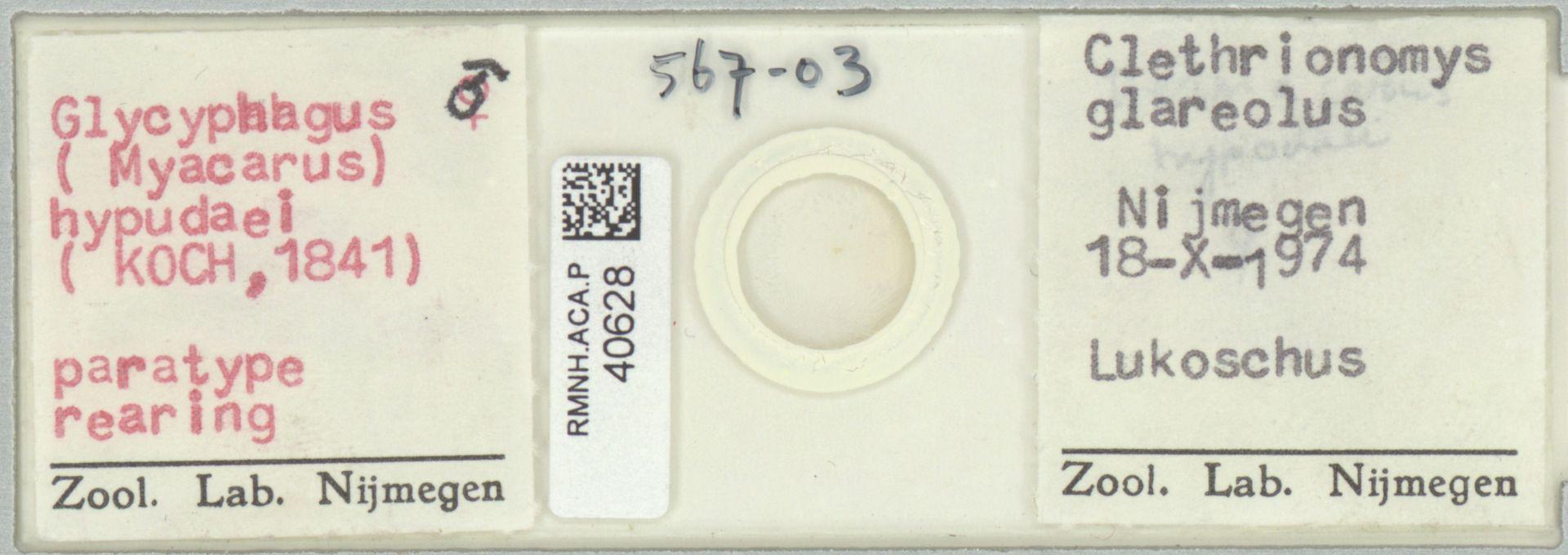 RMNH.ACA.P.40628 | Glycyphagus (Myacarus) hypudaei (Koch, 1841)