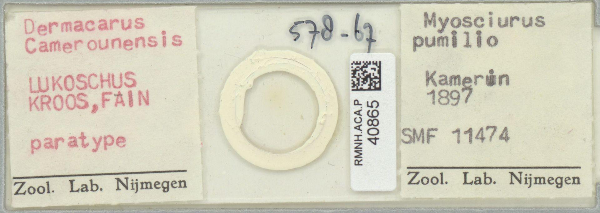 RMNH.ACA.P.40865   Dermacarus Lukoschus Kroos, Fain