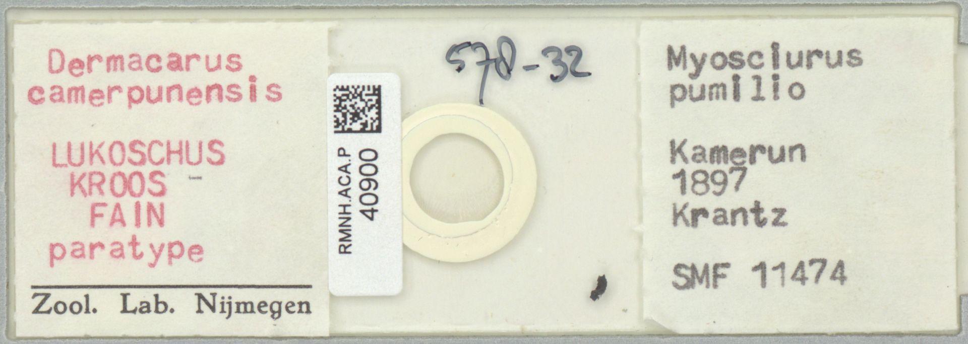 RMNH.ACA.P.40900   Dermacarus camerpunensis LUKOSCHUS KROOS FAIN
