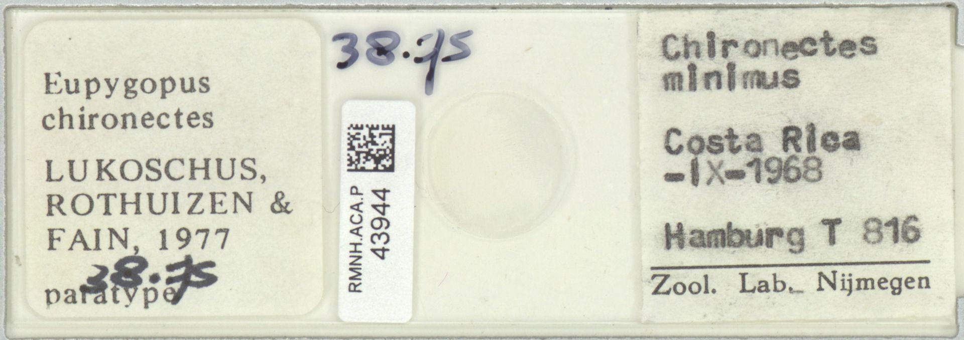 RMNH.ACA.P.43944 | Eupygopus chironectes Lukoschus, Rothuizen & Fain, 1977