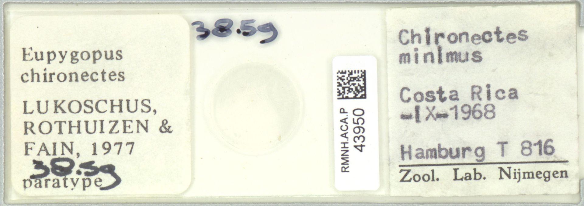 RMNH.ACA.P.43950   Eupygopus chironectes Lukoschus, Rothuizen & Fain, 1977