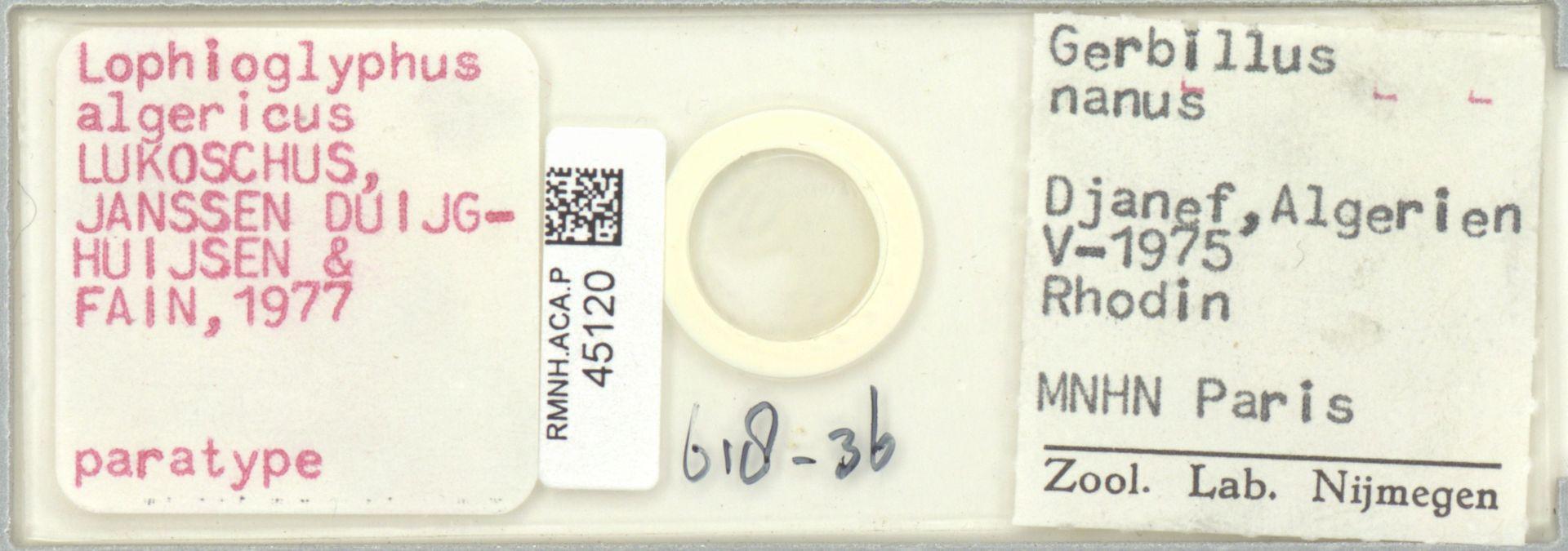 RMNH.ACA.P.45120 | Lophioglyphus algericus Lukoschus, Janssen Duijghuijsen & Fain, 1977