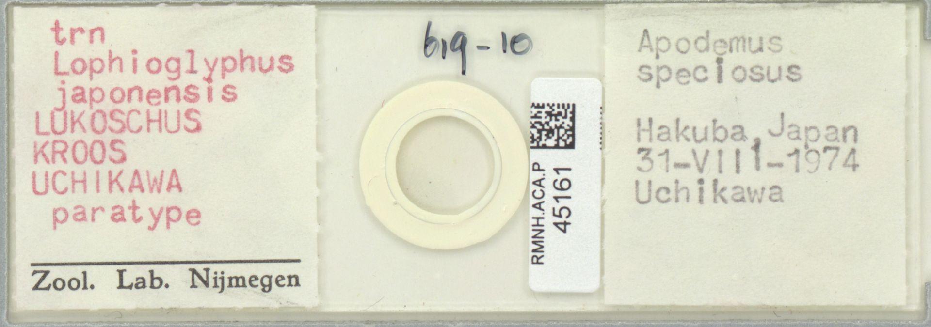 RMNH.ACA.P.45161 | Lophioglyphus japonensis Lukoschus, Kroos & Uchikawa