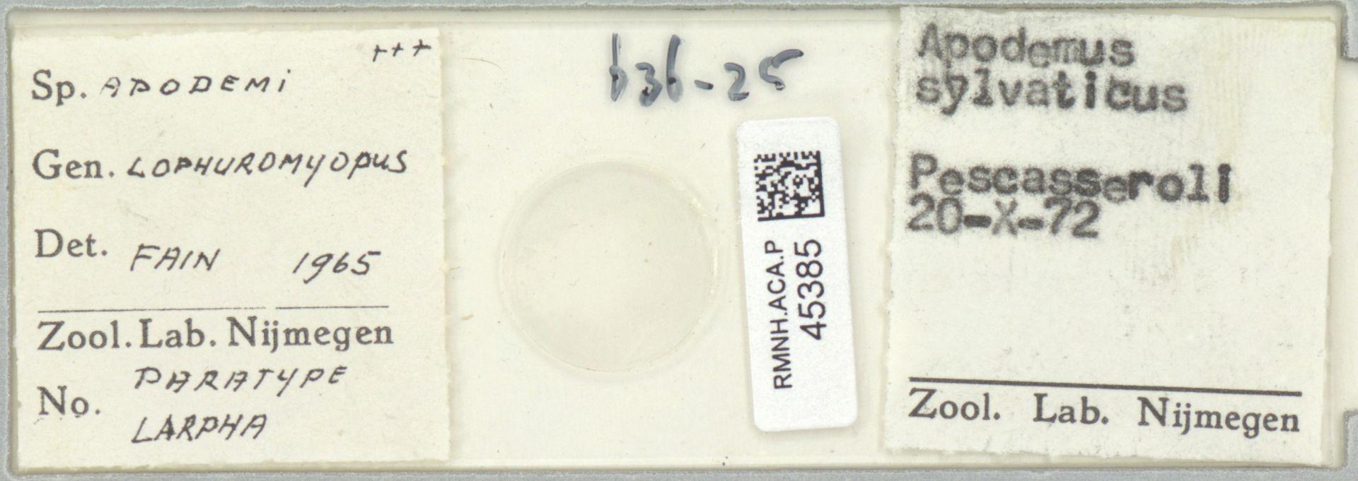 RMNH.ACA.P.45385 | Lophuromyopus apodemi Fain 1965
