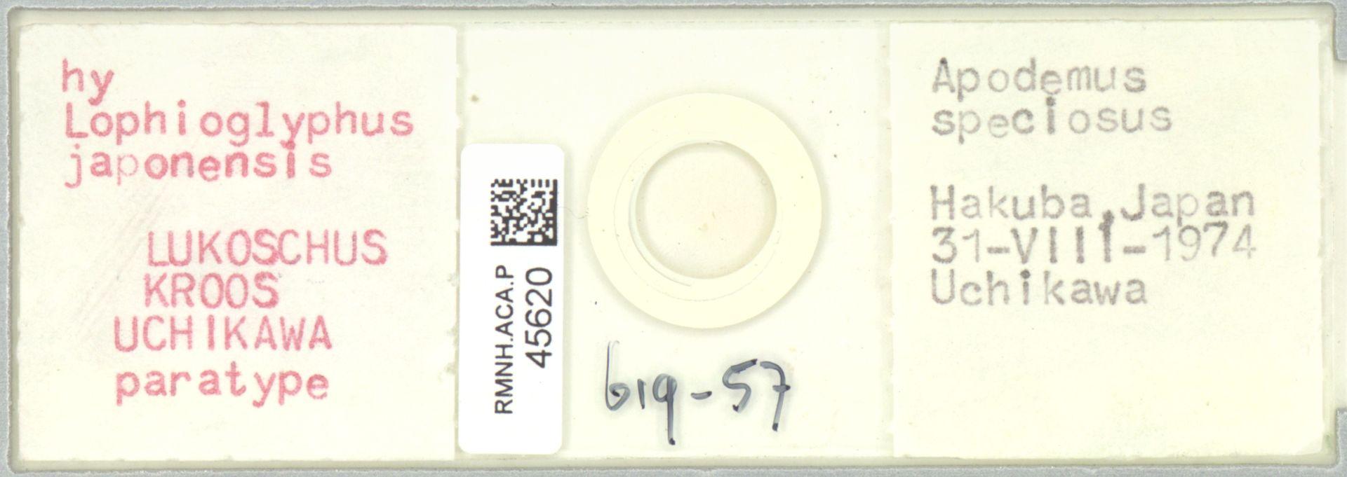 RMNH.ACA.P.45620 | Lophioglyphus japonensis Lukoschus, Kroos, Uchikawa