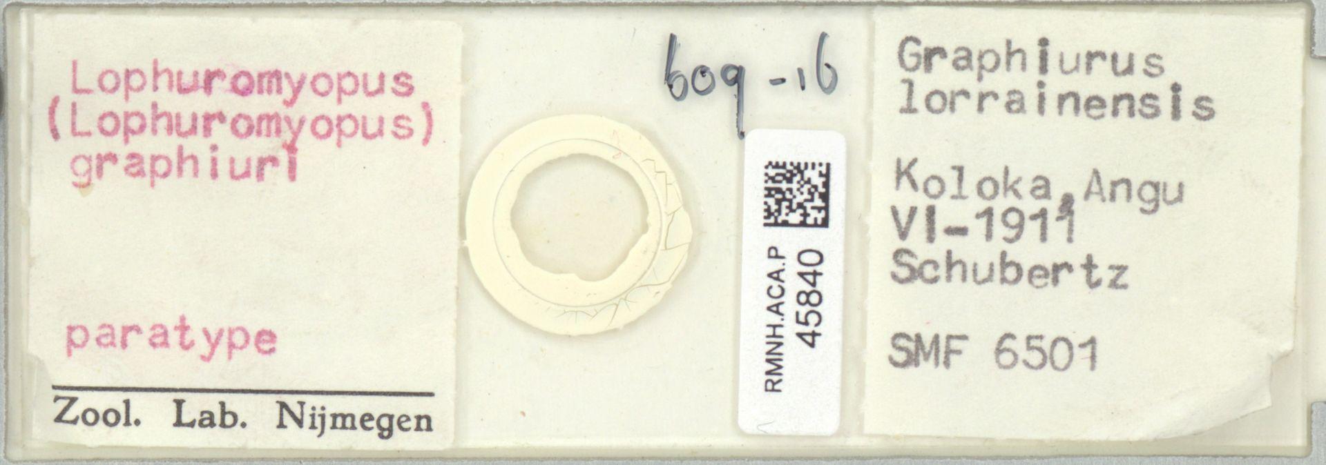 RMNH.ACA.P.45840   Lophuromyopus (Lophuromyopus) graphiuri