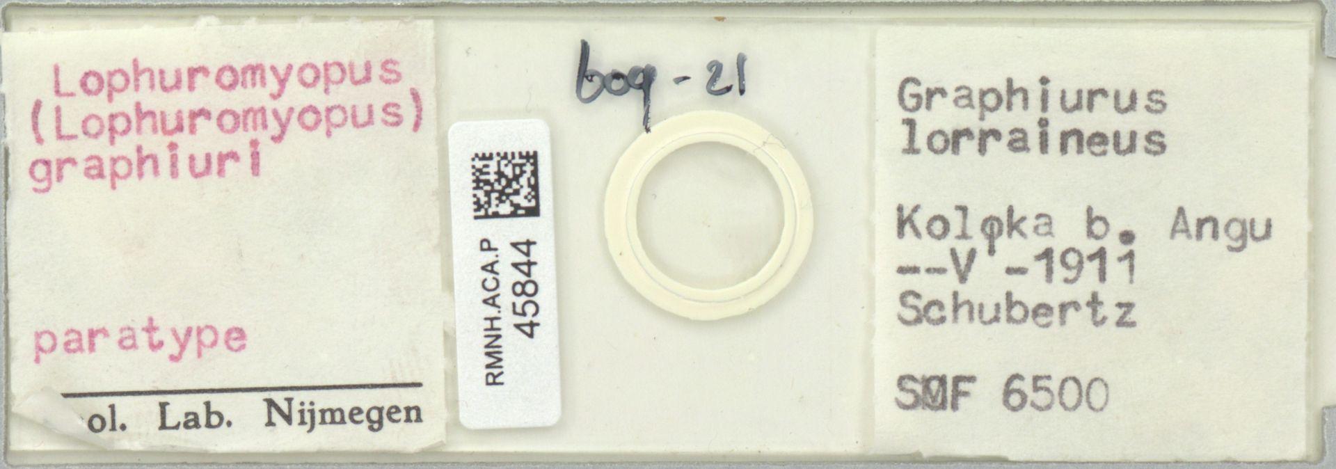 RMNH.ACA.P.45844 | Lophuromyopus (Lophuromyopus) graphiuri