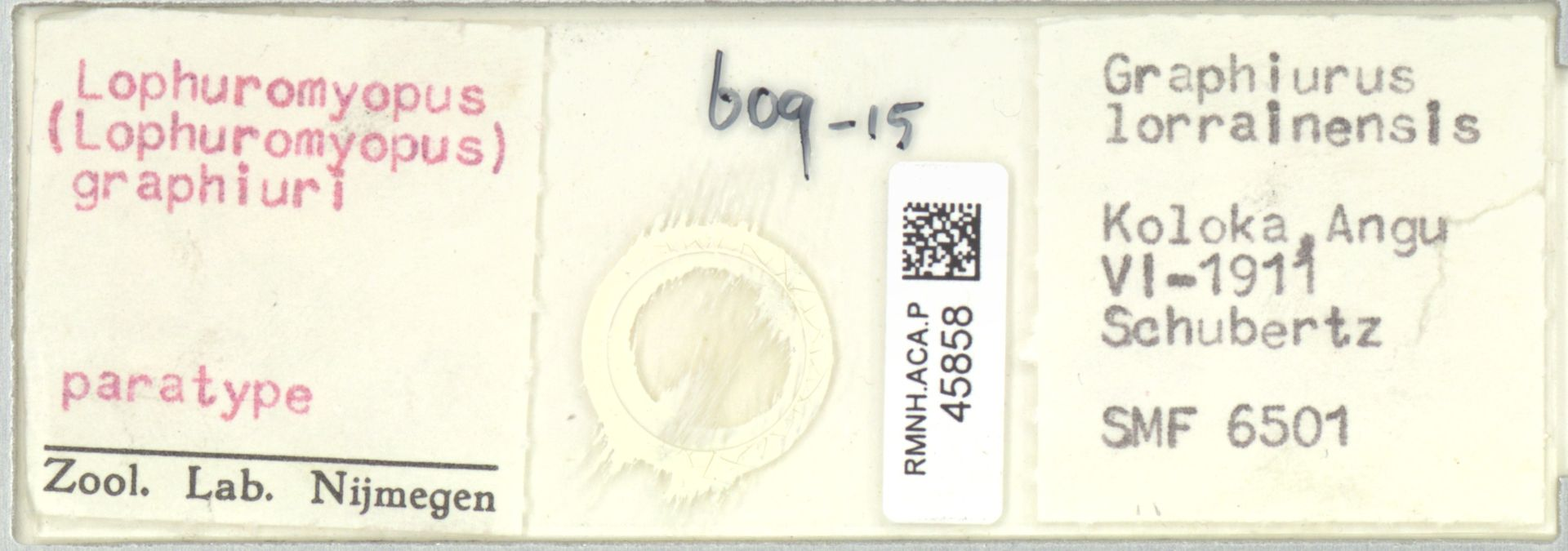 RMNH.ACA.P.45858 | Lophuromyopus (Lophuromyopus) graphiuri