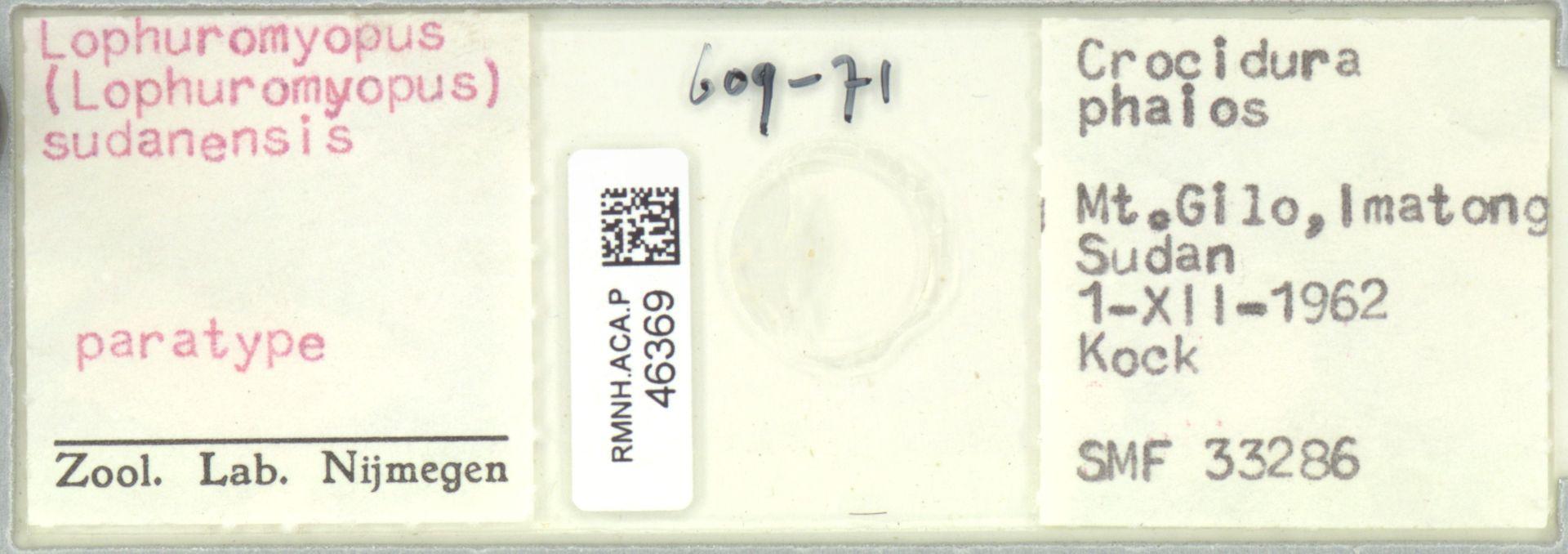 RMNH.ACA.P.46369 | Lophuromyopus (Lophuromyopus) sudanensis